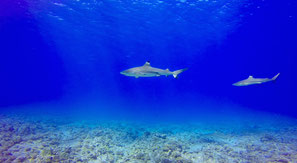 Blacktip sharks in Bora Bora