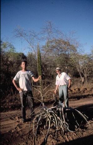 Encholirium, Minas Gerais 1999