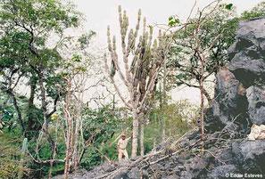 Cereus pierre-braunianus, Goias
