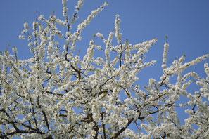 Jeder Baum und Strauch hat seinen Habitus, seine natürliche Wuchsform. Achten wir darauf bekommen Gärten Leichtigkeit und Würde.