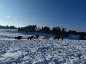 Islandpferde galoppieren im Schnee