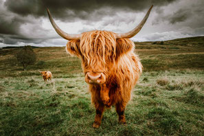 Highland Cattle, Cattle, Schottland, Highlands