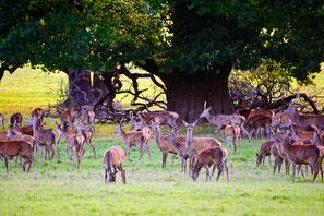 Herde Hirsche während der Brunft