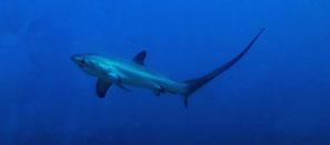 Requin renard à Sental Nusa Penida pour la spécialité Padi aware shark conservation