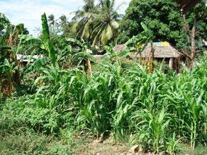 Hütten in der Nähe von Mombasa hinter Mais- und Bananenfeldern