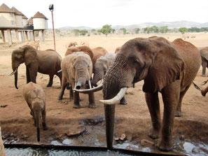 Elefanten vor der auf Stelzen gebauten Salt Lick Lodge