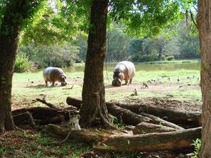 Flusspferde auf der Wiese im Haller-Park in Kenia