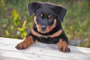 un chiot rottweiler lesdeux pattes avant sur une rebord de bois par coach canin 16 educateur canin charente