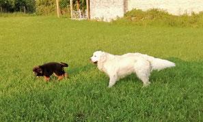 Un chiot berger allemand noir et feu et un golden retriever blanc dans un jardin par coach canin 16 educateur canin à domicile charente