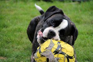 Un chien type boxer noir et blanc couché mord dans un ballon de football jaune par coach canin 16 educateur canin en charente