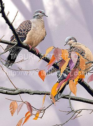 日本の野鳥画 キジバト イラスト