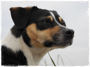 Dansk-Svensk-Gardhund