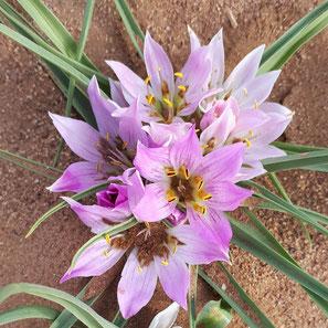 fleur Maroc désert sable