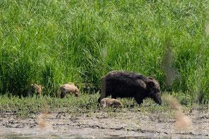 Wildschwein mit Frischlinge am Kühkopf während der bo events Kanutour