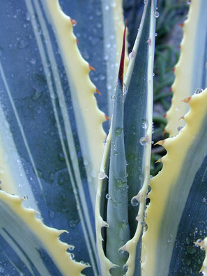 agave - Lyzzz