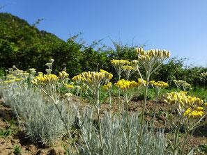 La foto mostra le nostre piante di Elicriso