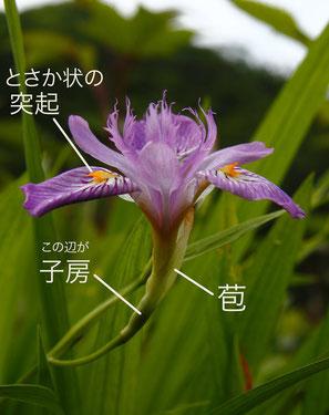 ヒメシャガ 2012.06.24