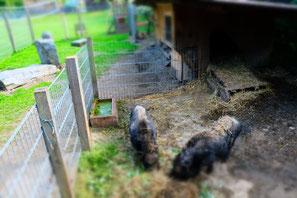 Die Hängebauchschweine Stupsi und Selma