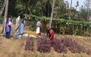 学校の畑では、野菜やバナナを育てています