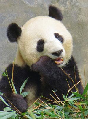 Nahe Chengdu besuchen wir eine Aufzuchtstation für Pandabären.