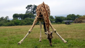 Giraffa di Rothschild