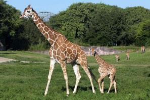 Giraffa di Rothschild con il suo cucciolo