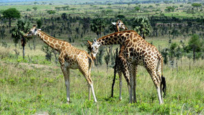 Giraffe di Rothschild