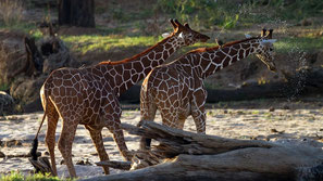 Giraffe reticolate