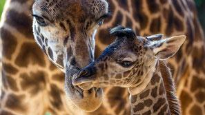 Giraffe masai