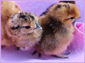 Küken Zwerg Seiden Huhn