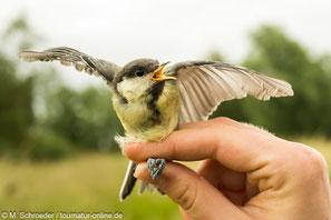 Gänse-Monitoring - Integriertes Monitoring Singvögel (IMS) - Vogelberingung - Vogelzählung