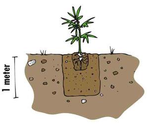 Hanf Cannabis in vorbereitete Erde Outdoor aussetzen und eingraben