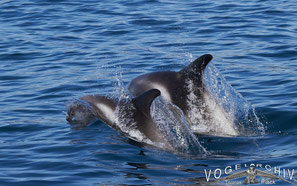 Weißseitendelphin