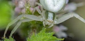 Veränderliche Spinne, Freihand gestackt