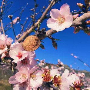 Amandelbloesem - In februari staat de vallei in bloei met witte roze bloemen aan de amandelbomen.