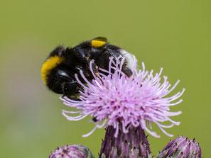 Unter den vielen Insekten im Schaugarten sind auch viele Erdhummeln. - Foto: Kathy Büscher