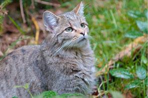 Die Wildkatze ist Wildtier des Jahres 2018 - Foto: Christoph Bosch