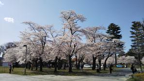 2021年4月1日(木)   西公園・源吾茶屋前の桜