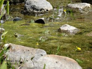 Teichfrösche kann man vorwiegend am Uferbereich beobachten.