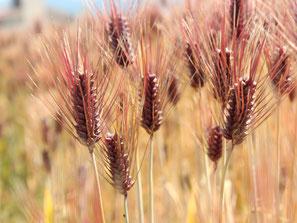 もち麦 品種:ダイシモチ