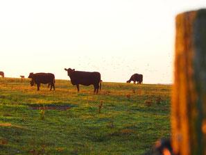 die Mutterherden auf riesigen Weiden verteilt
