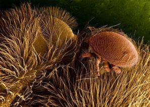 Varroa-Milbe [Quelle Brian0918, Wikimedia 2007]