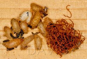 Larve (1), Präpuppen und die typischen Kotschnüre von Cacoxenus indagator