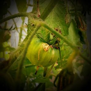 Tomatoe No. 1