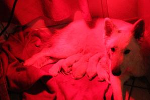 elevage de berger blanc suisse, ici geiisha et ses bébés