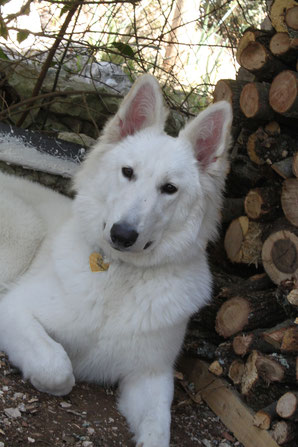 eagle ice of washoita ahow elevage berger blanc suisse chiot vente