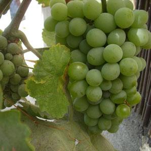 Wein aus Ibiza und Formentera