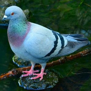 Pigeon pour le gîte le Pigeonnier du Château Belle Epoque à Linxe 40