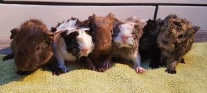 11.02.2020 :  Heute Vormittag hat Pearl ihre 6 Babys bekommen. Mutter und Babys sind wohlauf. In ein paar Wochen suchen dann 4 Böckchen und 2 Mädels ein neues Zuhause in Meerschweinchen-Gesellschaft 😊. Update: Babys und auch Mama Pearl sind ausgezogen