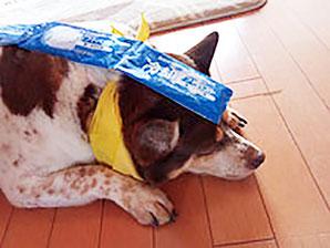被災グッズを頭に載せて伏せをする犬
